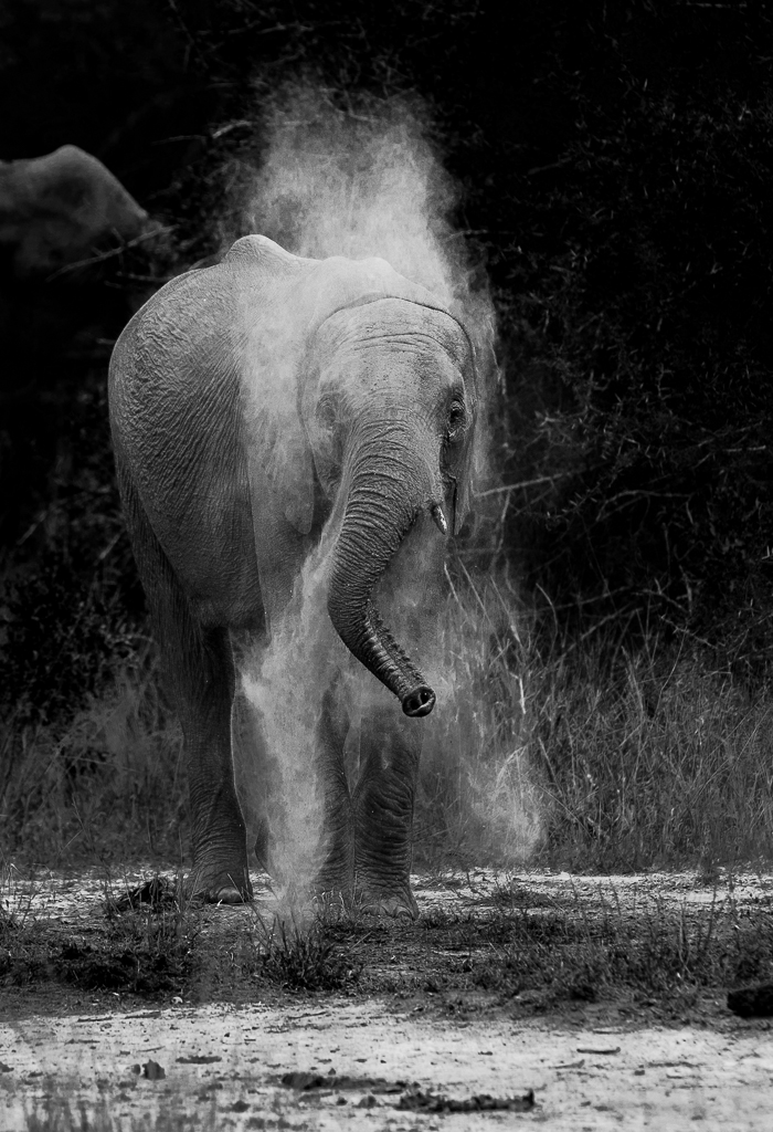 Elephant cow dust bathing