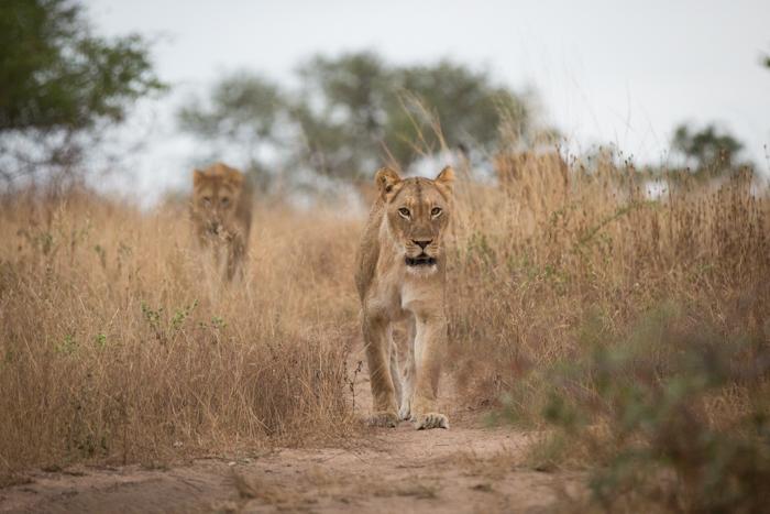 Lion Game Path