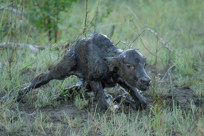 buffalo-birth3