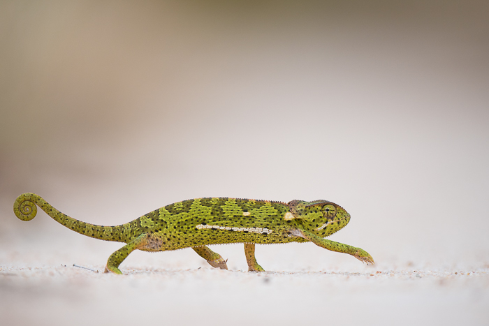 Making the dash, a chameleon crosses a path on an overcast morning.