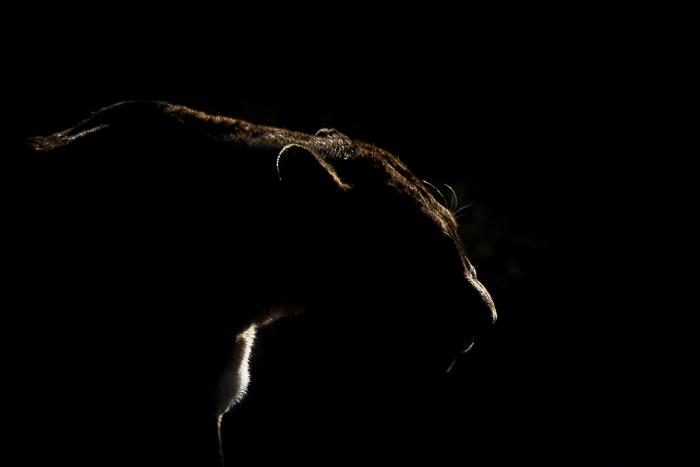 Side light lioness