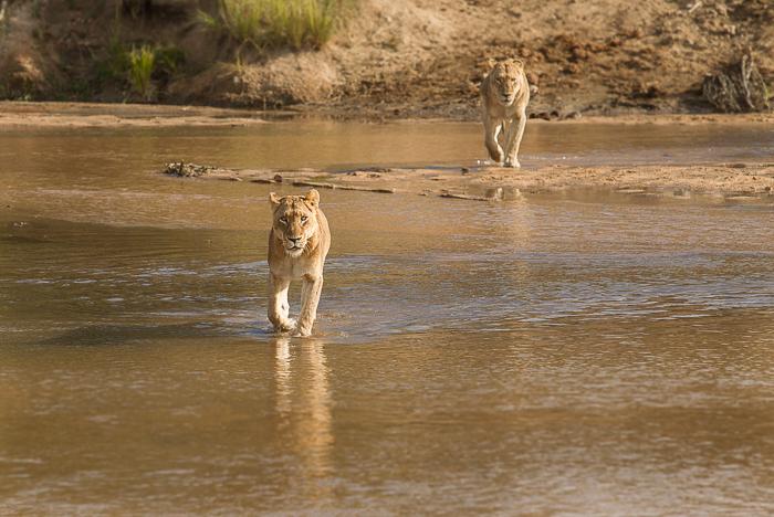 Tsalala crossing the sand river