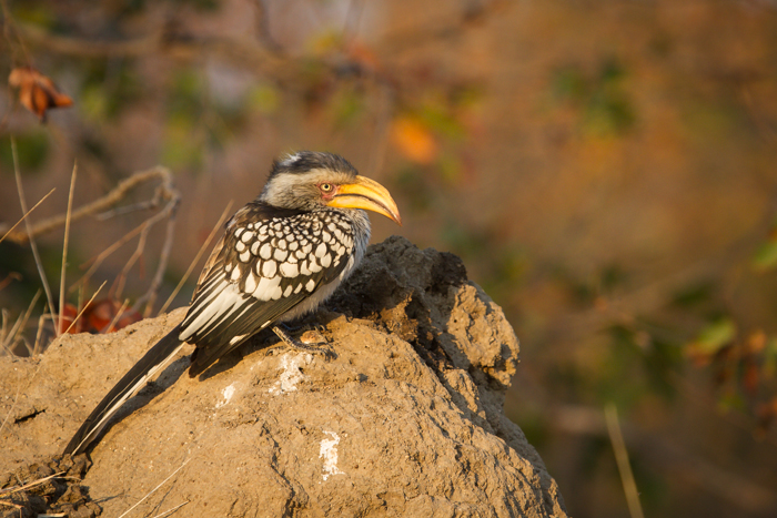 Andrea_Campbell_Hornbill_on_termite_mound