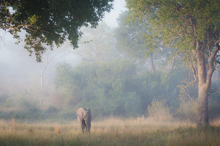 A beautiful setting early one morning as the mist only just revealed a single Elephant feeding in a clearing as the rest move away out of frame. A cold Leadwood tree towers the majestic mammal. (1/250 at f/4.0; ISO 200).