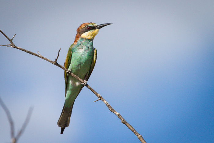Andrea_Campbell_European_Bee_Eater