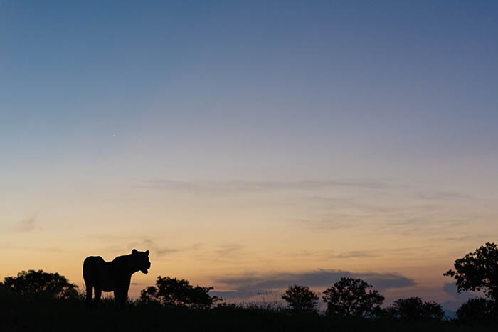 In the same vein, a silhouette of an animal against a painted sky encompasses a quiet, reflective moment of the day.