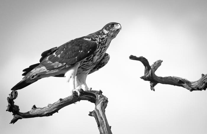 Andrea-Campbell-African-Hawk-Eagle