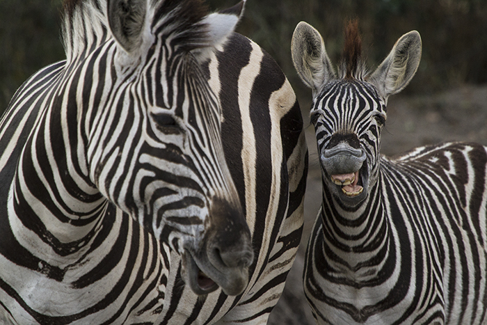 A caring mother zebra reassures he foal after discovering several waterholes were dry.