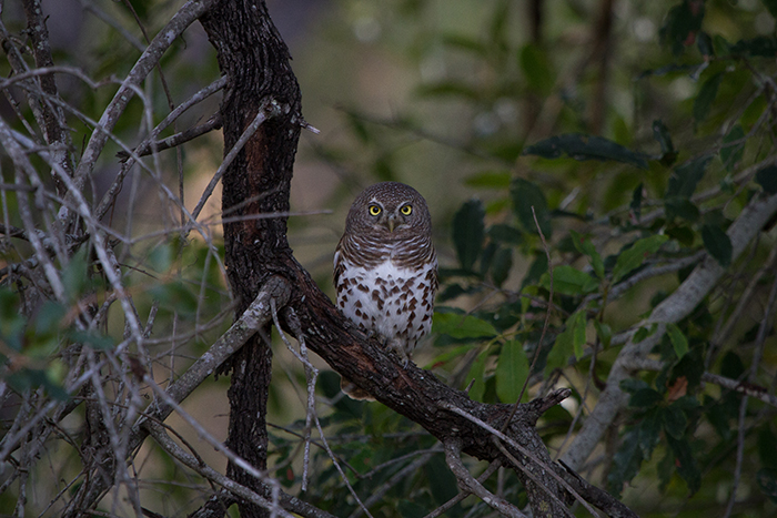 The piercing eyes of an African Barred Owlet are on the lookout for unsuspecting prey to pass its unforgiving glare.