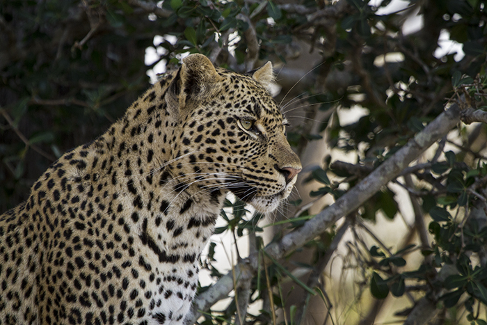 The Tamboti young female in on high alert as she vigilantly guards her duiker kill hoisted in the tree. The morning sun penetrates through the branches providing much needed warmth in these colder times.