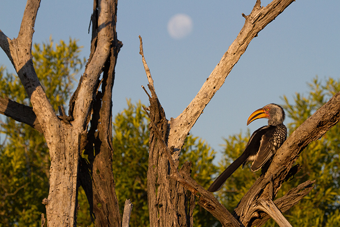 The stark yellow of the Southern yellow-billed hornbill is magnified by the sun whilst the moon shines in the background.