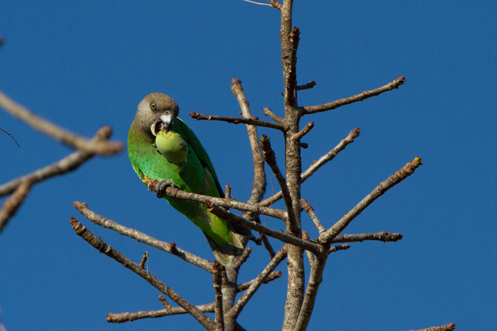 It was amazing watching a Brown-headed parrot feeding on the remains of the fruit of a marula tree.