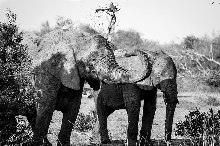 This small dam offered a herd of elephants a chance to drink and shower themselves in mud to cool off during the midday heat.
