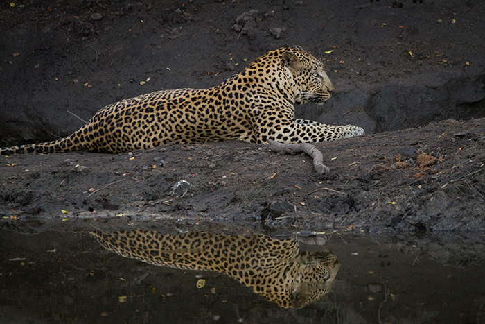 A reflection of the short-tailed (Ehlathini male) whilst he cools off in a shady spot.