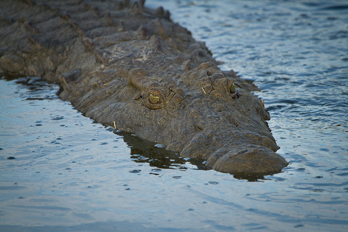 Only small ripples appear when this huge crocodile effortlessly glides back into the water.