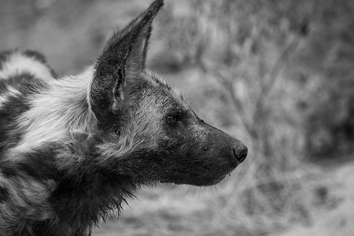 The ever beautiful, rare and elusive African wild dog stares into the distance.