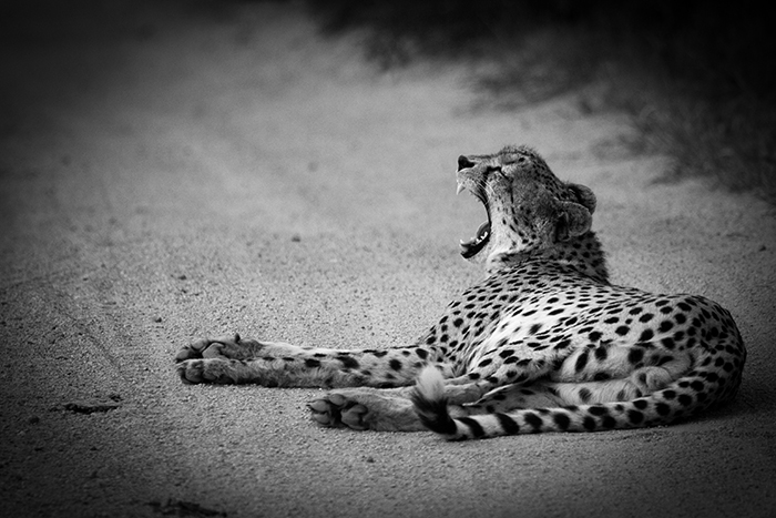 A yawning male cheetah showing its canines.