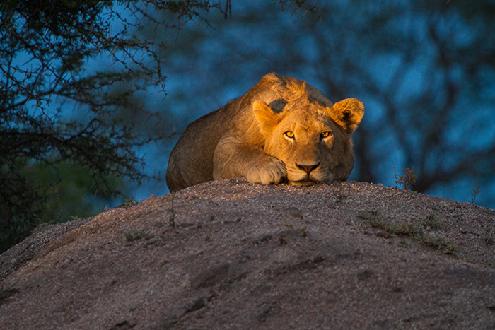 A young male of the Mhangeni pride gazes directly into the camera. The eye-level shot, enhanced by the setting sun and spot light, allows you to almost see the emotions of the lion through his eyes. What emotion do you see?