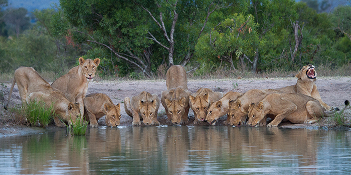 One of my favourites, the Mhangeni pride slake their thirst in the late afternoon.