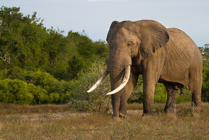 Aptly named 'The Tusker', this giant elephant bull shows a calm temperament in his pursuit for a mate.
