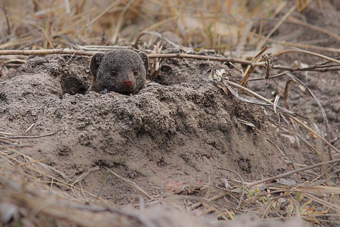 mongoose1