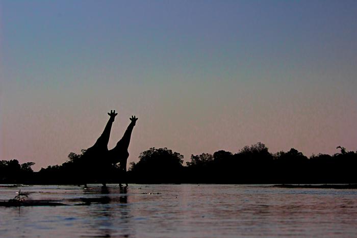 giraffe in the river
