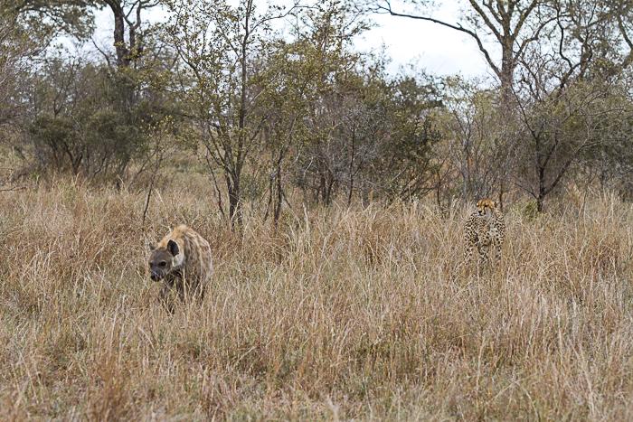 cheetah hyeana2