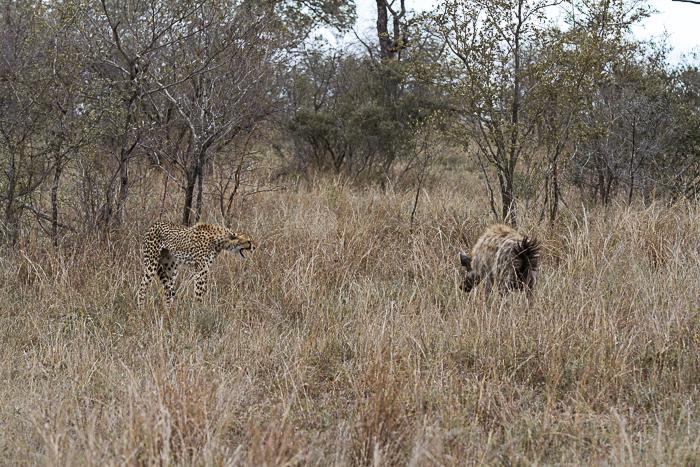 cheetah hyeana