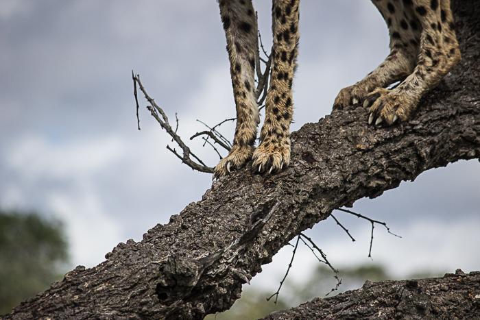 cheetah claws