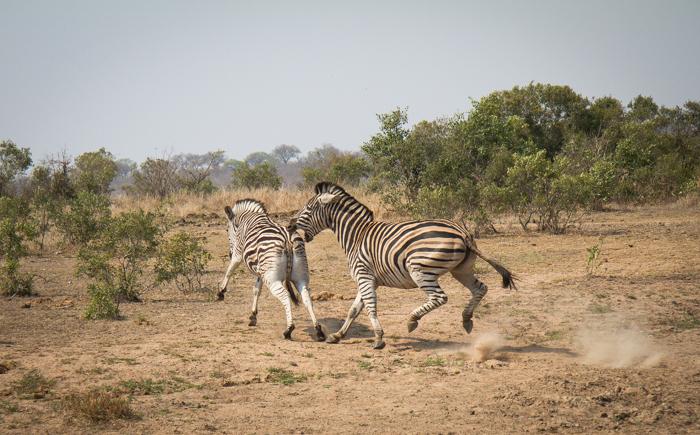 Andrea-Campbell-zebra-bite