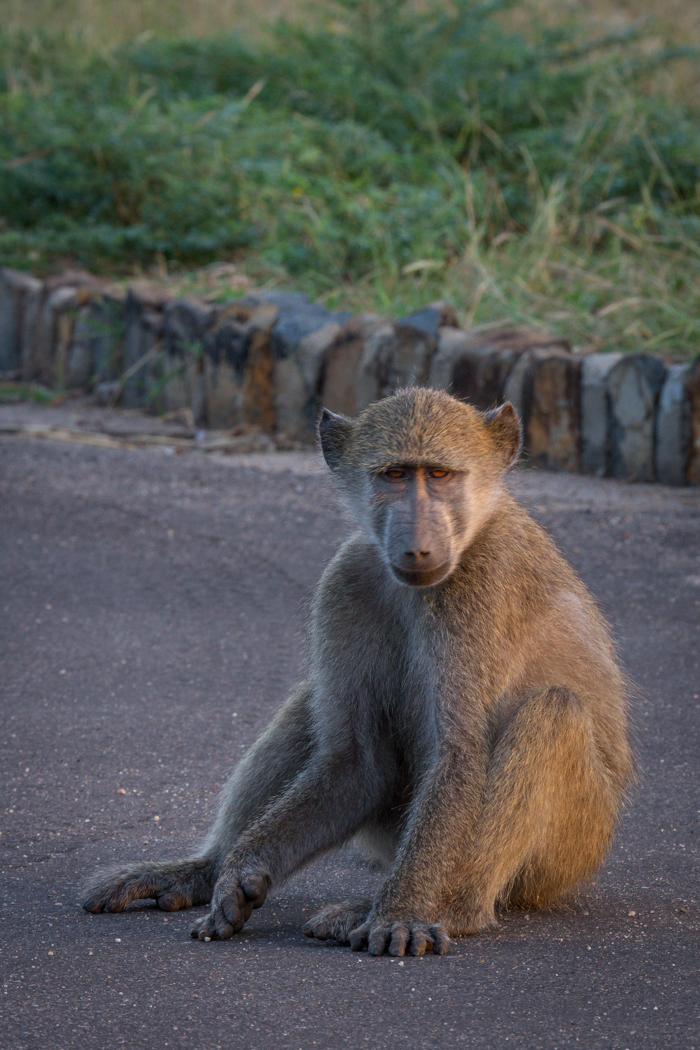 Andrea-Campbell-sad-baboon