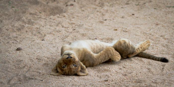 Andrea-Campbell-lazy-cub