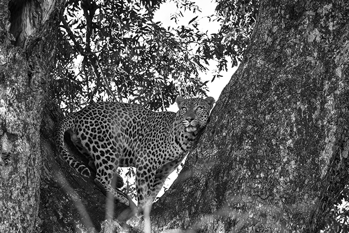 Plenty of snarling, baring of teeth and swatting ensued as the hyena quickly realised his error and escaped, while Gowrie scrambled back up to the relative calm of the tree branches