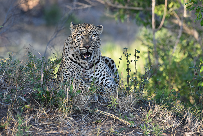 His concern seemed fully justified when a hyena appeared behind all of us from among the trees, presumably hoping to sneak off with the remains of the warthog