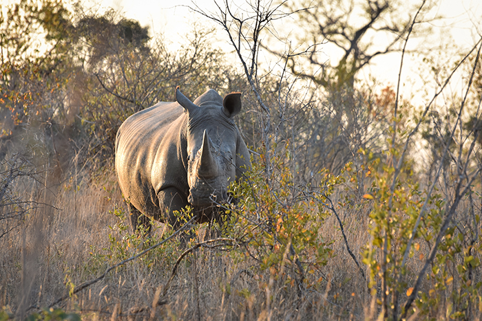 The first sighting of the day included two male white rhinos in the northern section of Londolozi