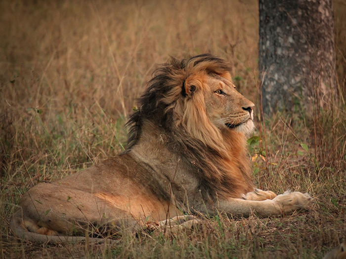 """One of the Styx males in late afternoon. Young, unscarred and looking to be fully """"in charge."""""""