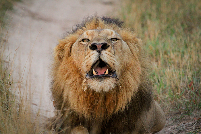 I almost felt as though he was roaring at me, looking straight at me! The sound of a lion's roar is not easily forgotten…