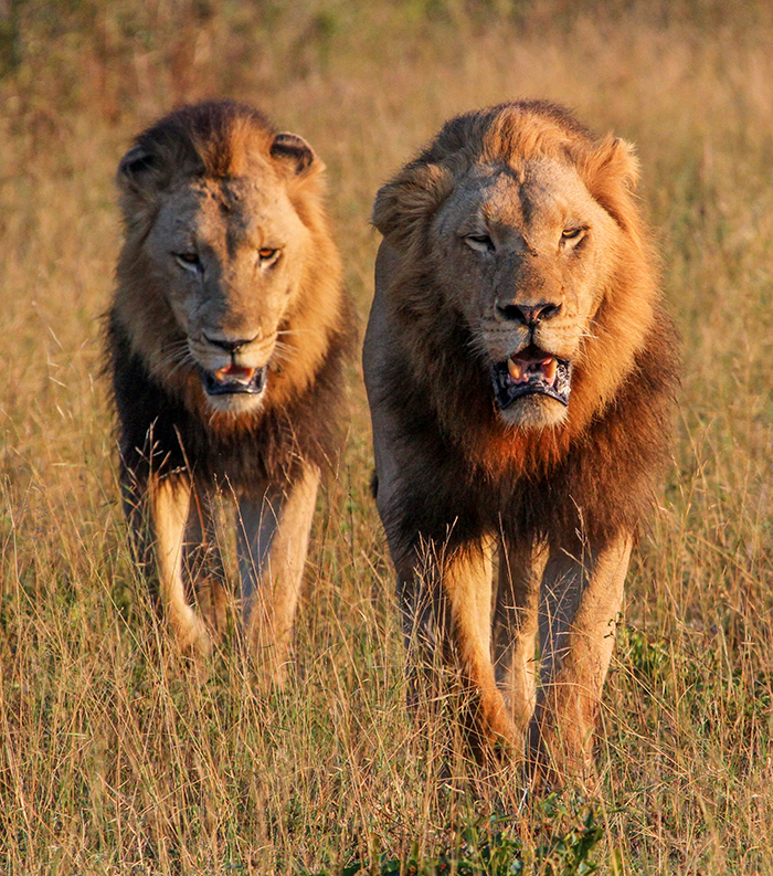Although apparently not brothers (one is a son of Majingilane), they looked like a couple of young thugs, strutting into town!