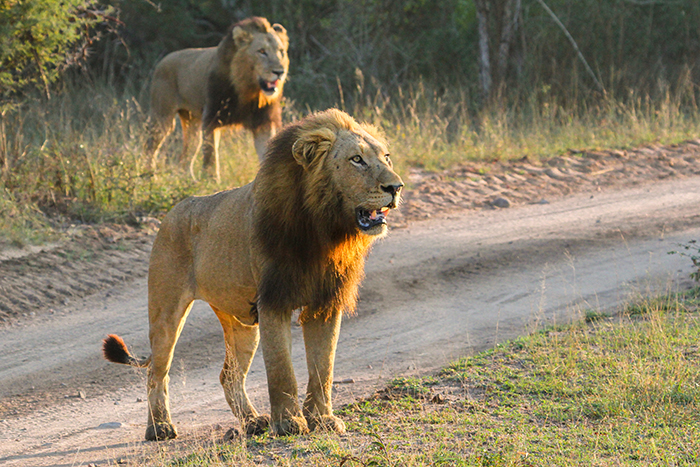 The 2 Fourways males are young, strong and powerful-looking as they pushed their way past camp, scent-marking and checking out the territory.