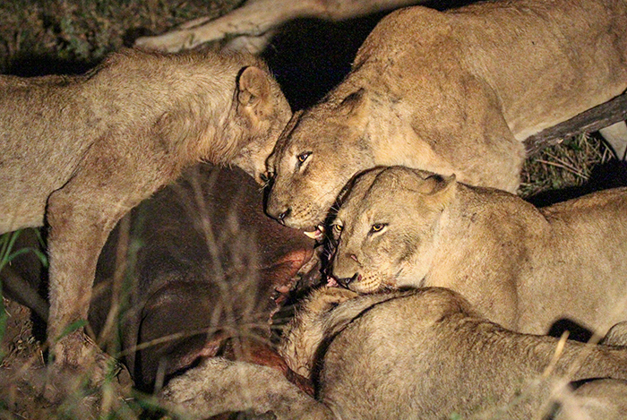 When we visited that night they were still gathered round their meal, pushing and growling for 'best' position. They only left the carcass about 3 days later – perhaps concerned that the Fourways males had crossed the river into their territory.