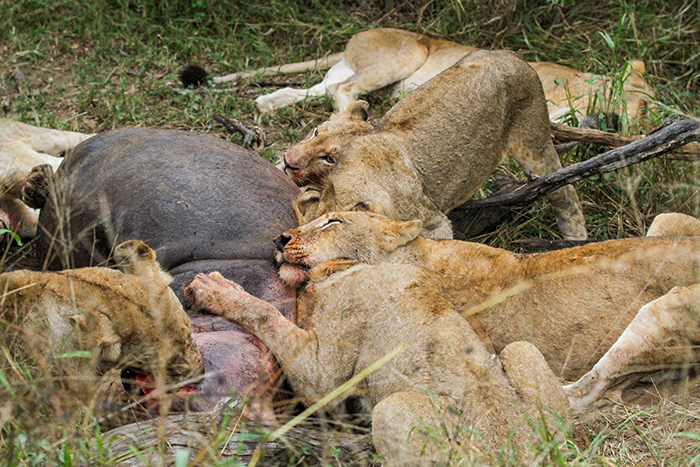 Most of the 7 pride members were gathered around the carcass, all having their fill, some already exhausted from the effort of bringing down such a large animal.