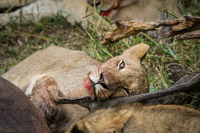 A few, like this female, were already satiated, resting between eating sessions.