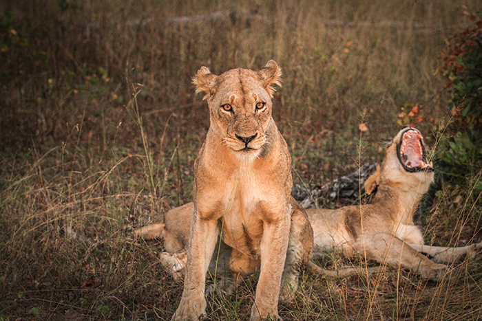These two females from the Tsalala pride were with the brothers and later joined the brothers on a night hunt.