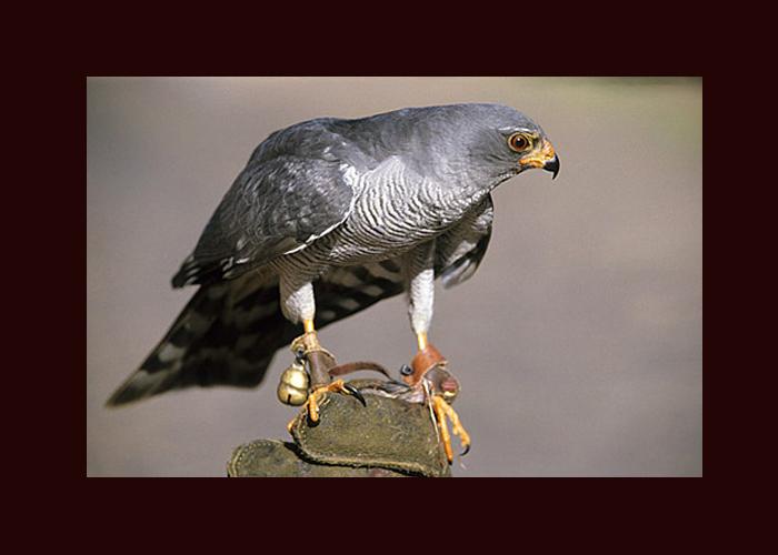 Ovambo-sparrowhawk