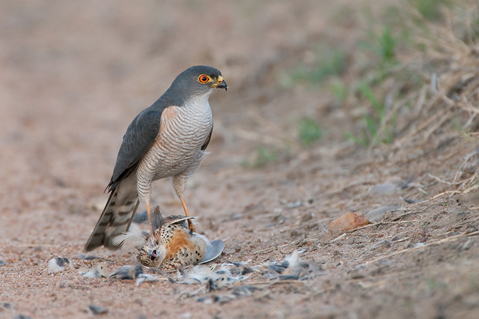 Little_Sparrowhawk-2_800_90_R-outdoor photo