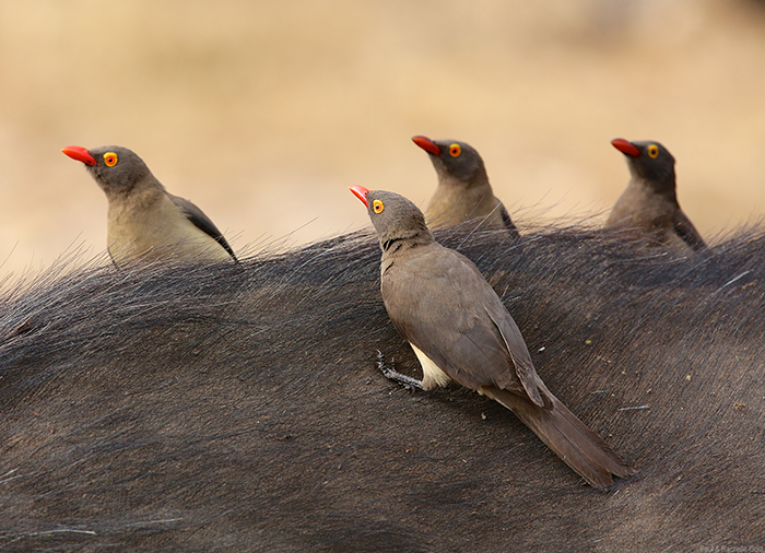 The four tenors – red-billed oxpeckers. Photographed by Paul Gold