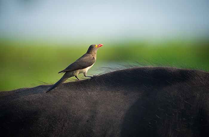 A redbilled oxpecker enjoying a free ride from its buffalo host. Photographed by Harry Ryan.