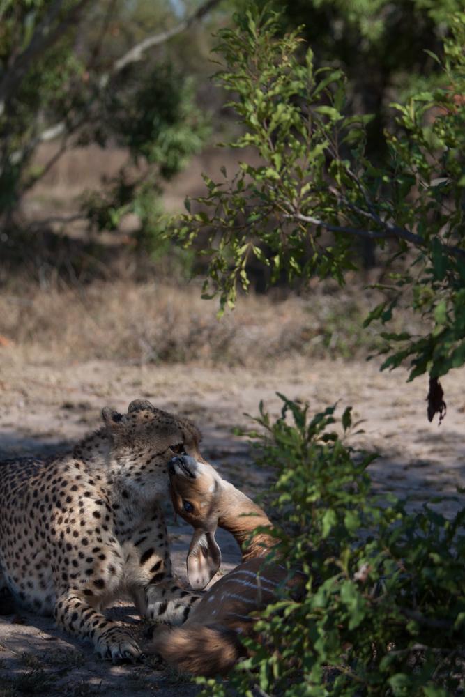 cheetah (1 of 1)