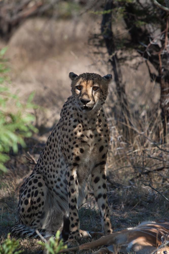 cheetah (1 of 1)-2