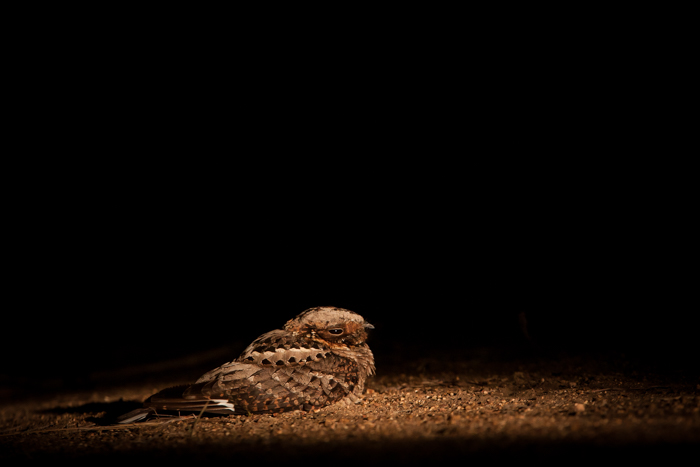 firey necked nightjar (1 of 1)